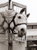 Desert Orchid Racehorse in Manchester Photographic Print