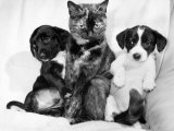 """Daisy"" the Cat Looks After Neighbor's Puppies That Needed Mother, March 1985 Photographie"