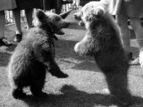 2 Bear Cubs Standing on Their Hind Legs with Their Mouths Open Photographic Print