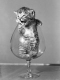 Animals Cats Kitten in a Brandy Glass 1950 Photographic Print