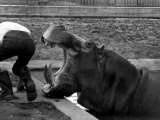 Hilda the Humorous Hippo Joking with Zoo Keeper in Phoenix Park Zoo, Dublin, June 1969 Fotografisk tryk