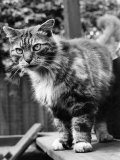 Fluff the Boss Cat at the Battersea Dog's Home, May 1967 Photographic Print