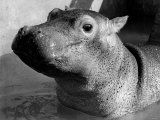 Esme, Two Month Old Hippopotamus, April 1973 Photographic Print