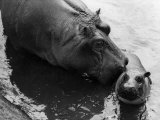 Wendy's Little Wanda: Wanda the Baby Hippo Shy When Making First Public Appearance on Tuesday Fotografisk tryk