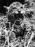 Corona, a Jaguar Cub, Born at London Zoo, Pleased to Meet His Visitors, June 1937 Photographic Print