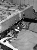The Watson's Boxer Dogs in Their Beds with Electric Blankets Photographic Print