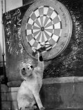 Clever Kitten is Snowball Pulls Darts out for Men of Royal Mint Photographic Print