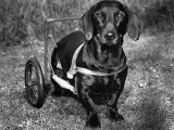 Moss the Dashshund in a Canine Wheelchair with the Slipped Disc, June 1960 Photographie