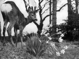 Baby Fawn Beside a Clump of Daffodils, March 1953 Photographic Print