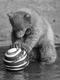 Pipaluk with Sally, His Mum, Playing with a Ball at London Zoo Today. March 1968 Photographic Print