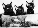 Kittens Hiding Behind Log. November 1965 Photographic Print