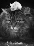 Animal Friendships: Cats and Mice Fotografisk trykk