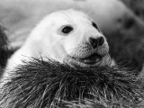 Baby Seals Photographic Print