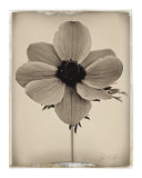 Sepia Anemone Prints by Deborah Schenck