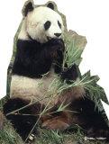 Panda Bear Cardboard Cutouts