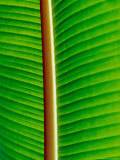 The Blacklit Veins of a Banana Leaf, Genus Musa, Family Musaceae Photographic Print by Jason Edwards