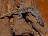 Golden-Tailed Gecko with Huge Red and Black Eyes and Spotted Skin Photographic Print by Jason Edwards