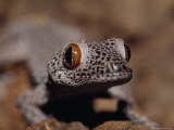 Golden-Tailed Gecko with Huge Red and Black Eyes and Spotted Skin Fotografie-Druck von Jason Edwards