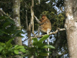 Proboscis Monkey Female and Baby in the Rain Forest in Borneo Photographic Print by Tim Laman