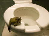 An Eastern American Toad in a Motel Room Bathroom Photographic Print by Joel Sartore