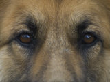 German Shepherd Dog's Eyes Photographic Print by David Edwards