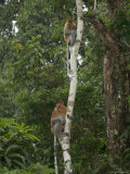 Two Proboscis Monkeys in a Tree Photographic Print by Tim Laman