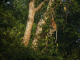 Proboscis Monkey Hangs From a Vine Photographic Print by Tim Laman