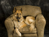 German Shepherd on Leather Chair in Studio Photographic Print by David Edwards