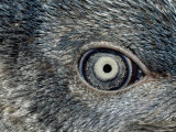 Close Up of the Mosaic Eye and Plumage of a Young Fairy Penguin Photographic Print by Jason Edwards