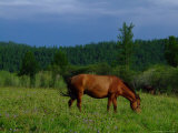 Wild Horse Grazing in Mongolia Photographic Print by David Edwards