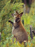 Bennetts Wallaby Feeding on Vegetation in a Re-Vegetation Program Photographic Print by Jason Edwards