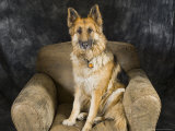 German Shepherd on Leather Chair in the Studio Photographic Print by David Edwards