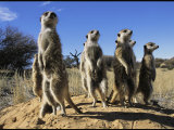 Group of Meerkats Standing Guard Photographic Print by Mattias Klum
