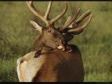 Brown-Headed Cowbird Stands Ready to Help an Elk Groom Itself Photographie par Raymond Gehman