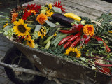 Sunflowers, Dahlias, Eggplants, Pepper and Squash Fill a Wheelbarrow Photographic Print by Jonathan Blair