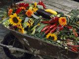 Sunflowers, Dahlias, Eggplants, Pepper and Squash Fill a Wheelbarrow Photographic Print by Jonathan Blair