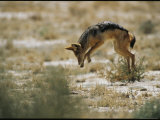 Black-Backed Jackal Pounces on Prey Photographic Print by Mattias Klum
