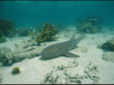 Nurse Shark Rests on the Sea Floor Off the Coast of Key West Photographic Print by Wolcott Henry