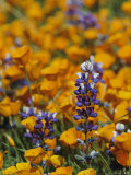 Poppies and Lupine Flowers in a Santa Barbara Field Photographic Print by Marc Moritsch