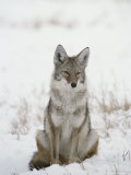 Coyote Sits in the Snow Photographic Print by Tom Murphy