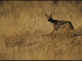 Black-Backed Jackal in a Field of Dried Grasses on the Kalahari Photographic Print by Mattias Klum