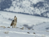 Howling Coyote Atop a Snow-Covered Hill Photographic Print by Tom Murphy