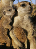 Meerkat Pups with Their Caretaker Photographic Print by Mattias Klum
