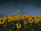Patch of Brighty-Colored Sunflowers Photographic Print by Karen Kasmauski