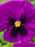 Close View of Purple Picotee Pansies, a New Variety of Pansy Photographic Print by Jonathan Blair