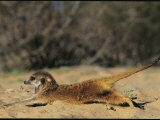 Yawning Meerkat Has an Early Morning Stretch Photographic Print by Mattias Klum