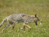 Yawning Coyote Photographic Print by Tom Murphy