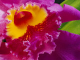 Close View of a Bright Pink Cattleya Orchid Photographic Print by Jonathan Blair