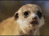 Close View of a Juvenile Meerkat Photographic Print by Mattias Klum