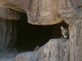 Mountain Lion Peeks Out of a Cave Opening Photographic Print by Tom Murphy
